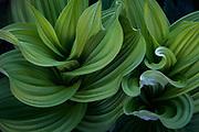 Corn lily leaves, Elk Mountains, Colorado.