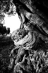 19/11/2010 Savelletri (Brindisi), Ulivo secolare....La raccolta delle olive e la produzione dell'olio extravergine sono un rituale che si protrae da moltissimo tempo in Puglia, questo avviene solitamente nel periodo che va da novembre a dicembre, mentre il lavoro di preparazione e coltivazione si svolge lungo tutto l'arco dell'anno..La raccolta è seguita nella maggior parte dei casi, quando le olive non vengono vendute all'ingrosso, dalla molitura presso gli oleifici per la produzione di quello che da queste parti viene chiamato anche oro verde..