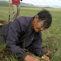 "Mongolian archaeologist Tovuudorj Sanjmyatov (""Sasha"") (MR) replants vegetation at a 2700+ year-old, bronze age deer stone site at Ulaan Tolgoi, near Lake Erkhel, north of Muren, Mongolia.  Christina Leece bkg."