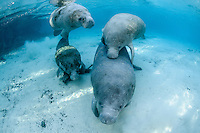 Florida manatee, Trichechus manatus latirostris, a subspecies of the West Indian manatee, endangered. Two eager cavorting male manatees bestow their attention on a slow moving mother and calf. Horizontal orientation with blue water and sun rays. Three Sisters Springs, Crystal River National Wildlife Refuge, Kings Bay, Crystal River, Citrus County, Florida USA.