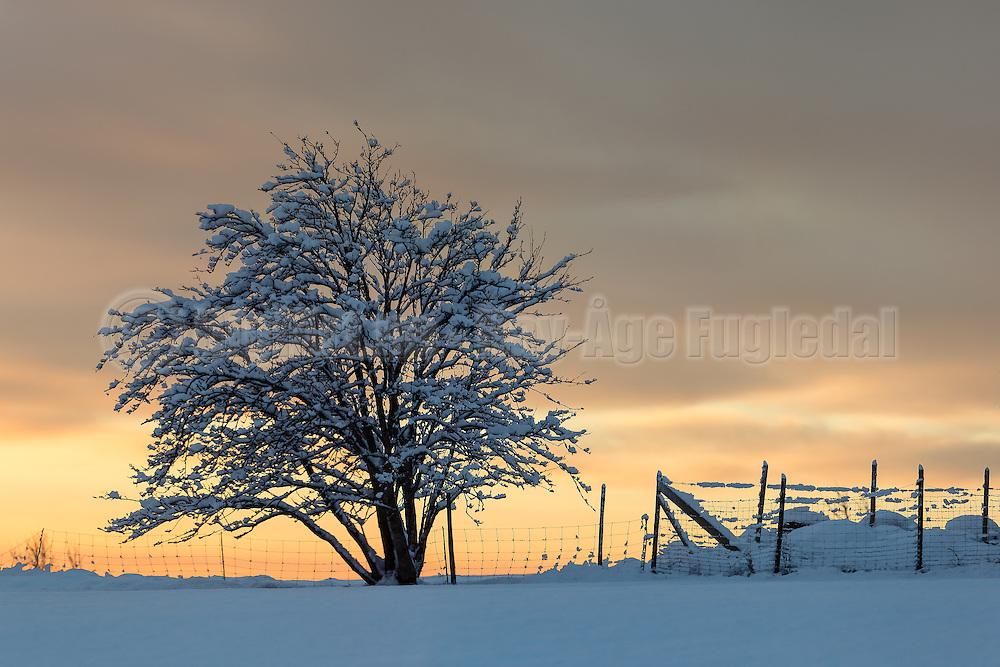 Snowy tree in sunset | Snødekt tre i solnedgang