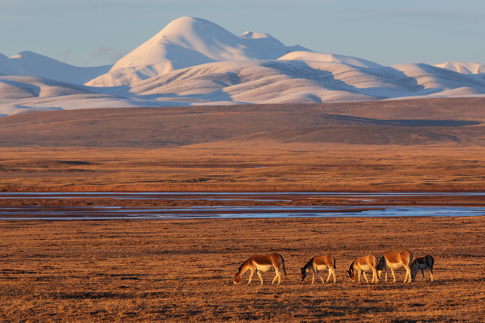 Asian Wild Ass, or Kiang, Equus kiang, Keke Xili or Hoh Xil nature reserve, at 4200 m asl. Tibetan Plateau, Qinghai, China