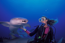 """A """"tame"""" Tawny Nurse Shark, Nebrius concolor, approaches a diver hoping to be fed. This particular shark, affectionately known as """"Max"""", has been a regular participant in shark attraction dives since 1990. Silvertip Bank, Burma Banks, Andaman Sea, Indian Ocean"""