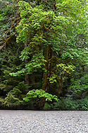 Bigleaf Maples (Acer macrophyllum) along the shore of the Cameron River in Macmillan Provincial Park - Port Alberni, British Columbia, Canada