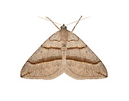 July Belle - Scotopteryx luridata<br /> 70.041 (1734)