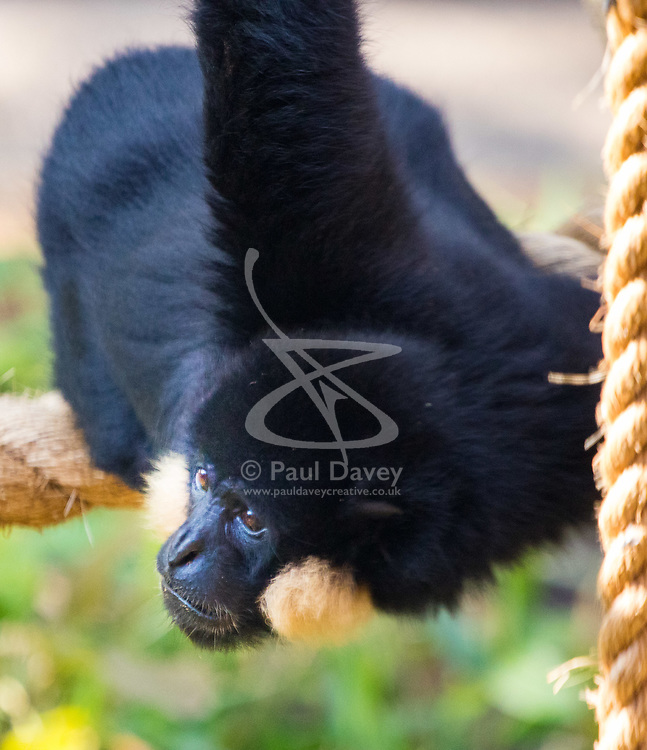 ZSL London Zoo, May 25th 2017.  A gibbon looks for treats during a photocall to promote ZSL London's newest exhibit, a treehouse style enclosure that will open to the public on Saturday 27th of May. The exhibit is home to duo Jimmy and Yoda, that will take people on a journey high into the Northern white-cheeked gibbon's (Nomascus leucogenys) treetop habitat, where they'll be able to watch the pair swing gracefully through a maze of branches and ropes.