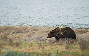 Grizzly boar head to the water and takes a swim and shakes off.