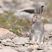 Arctic hare (Lepus arcticus), Victoria Island, Nunavut, Canada.