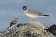Hood/ Espaniola Mockingbird (Nesomimus macdonaldi) with Swallowtailed Gull (Creagrus furcatus) in the background, Punta Suarez, Española, Galapagos, Ecuador