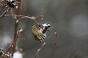 Female Common redpoll in winter