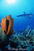 """Spot"", a lone, wild sociable bottlenose dolphin, Tursiops truncatus, and tube sponges, Aplysina fistularis, Cayman Brac, Cayman Islands ( Caribbean Sea )"