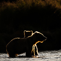 A brown bear mother and her yearling cub are in a defensive position after being approached by another family unit. Katmai National Park, Alaska