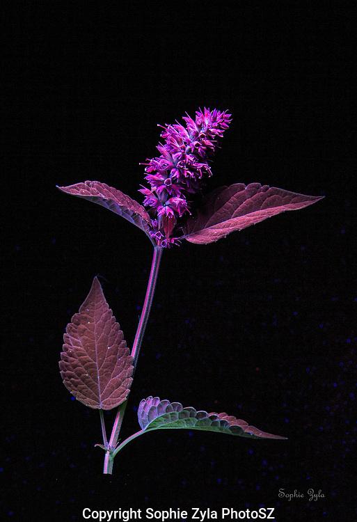 Anise Hyssop in UV