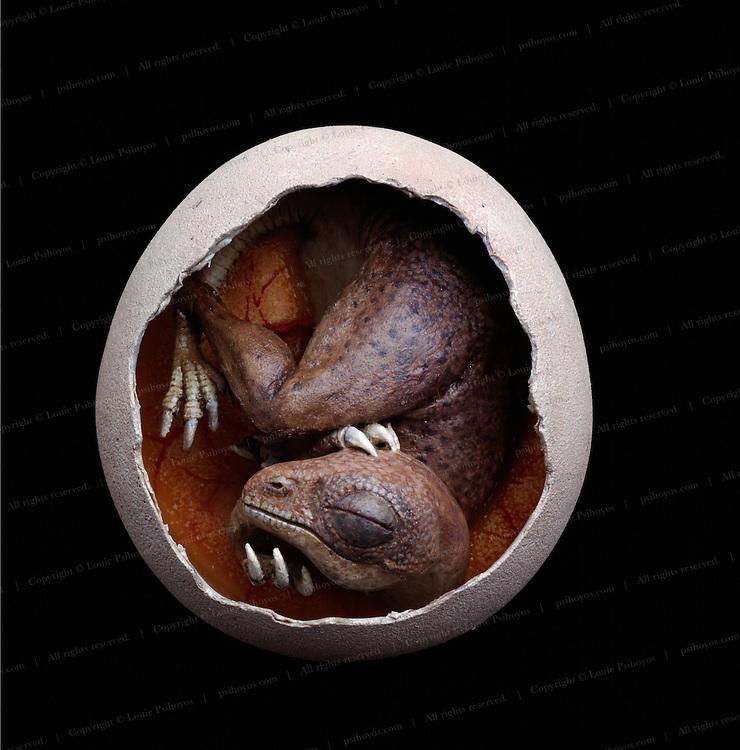 A curled up therizinosaur embryo in a model crafted by Brian Cooley, the best dinosaur model maker in the world.