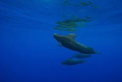 Short-finned Pilot Whales, Globicephala macrorhynchus, large bull with enormous dorsal fin, off Kohala Coast, Big Island, Hawaii, Pacific Ocean.