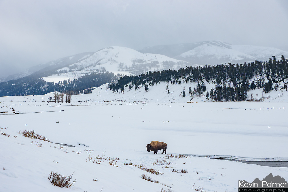 A lone bison stands next to the river in Yellowstone's Lamar Valley.
