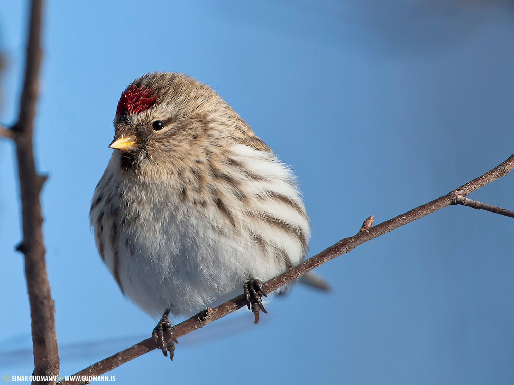 The Common Redpoll, Carduelis flammea, is a species in the finch family.