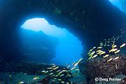 bluestripe snappers or ta'ape, Lutjanus kasmira, and yellowfin goatfish, Mulloidichthys vanicolensis, school under lava arch at Pu'u Mu dive site, Lehua Rock, off Niihau, Hawaii, United States ( Central Pacific Ocean )