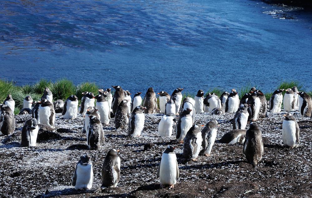 Moulting  Gentoo Penguins (Pygoscelis papua). Godthul, South Georgia.