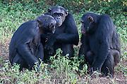 Chimps are photographed in the Ngamba Island Chimpanzee Sanctuary in Lake Victoria, Uganda. 03/15 Julia Cumes/IFAW