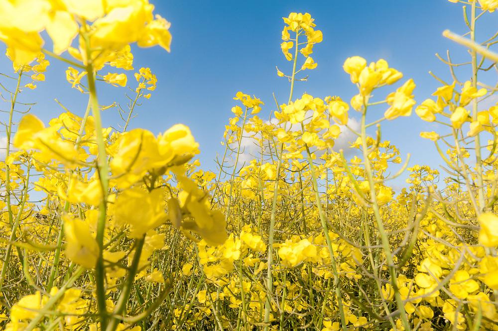 Colza, Rapeseed blossoms, Canola field