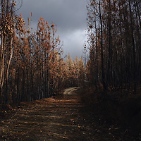 Trees with scorched leaves from massive heat from a recent fire.