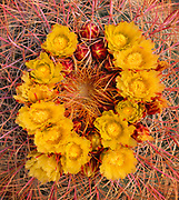 Barrel Cactus Flowers, Cottonwood Mountains, Joshua Tree National Park, California
