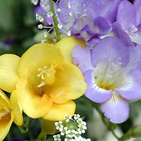 Subject: Freesia (Iridaceae).Habitat:  Introduced from South Africa.Location:  Santa Barbara, CA.Magnification:  1/3X.