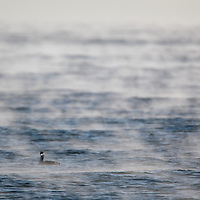 Steam rises off of the Atlantic Ocean on a crisp winter morning at Sandy Hook NJ at a Artic Loon sits on the surface of the water.