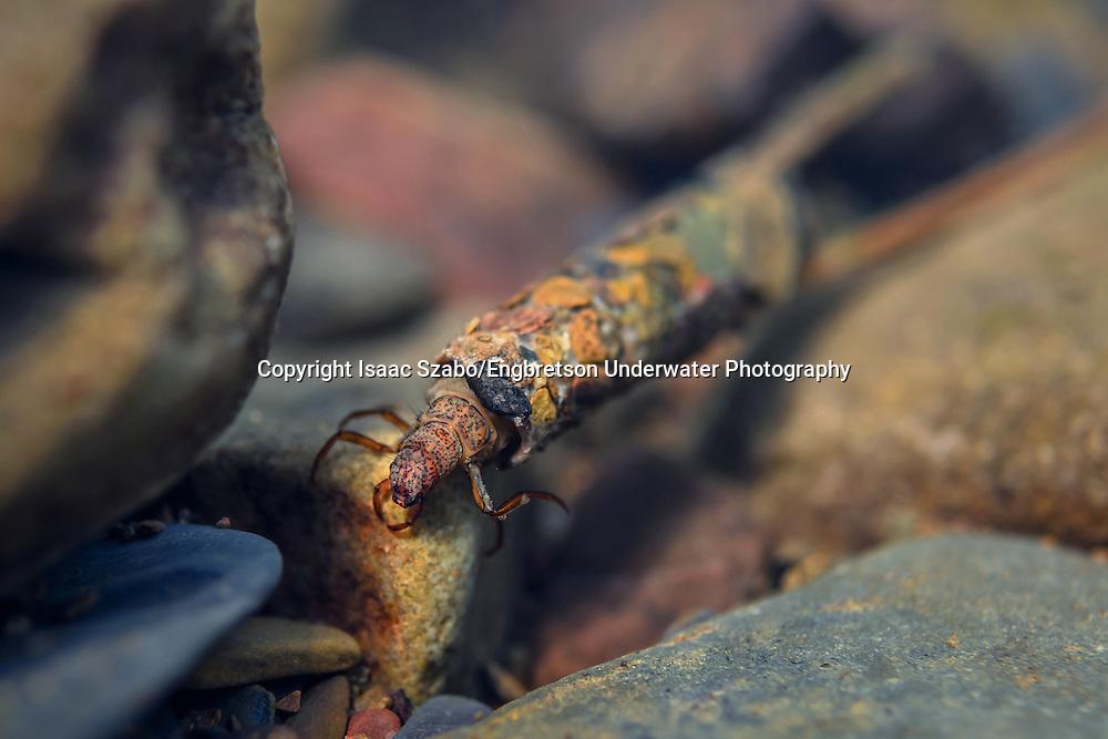 Caddisfly<br /> <br /> Isaac Szabo/Engbretson Underwater Photography