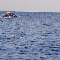 Humpback Whale Breaching 7 of 9
