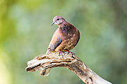 Laughing Dove (Spilopelia senegalensis) Perched on a branch The Laughing Dove is a common resident breeder in Sub-Saharan Africa, the Middle East and parts of the Indian Subcontinent. Photographed in Israel