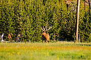 A bull Elk Grazing on meadow grass at sunrise in Yellowstone National Park, Wyoming.