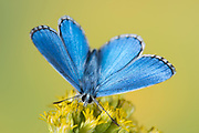 Adonis Blue Butterfly, Lysandra bellargus, United Kingdom, male, perched with wings open on flower