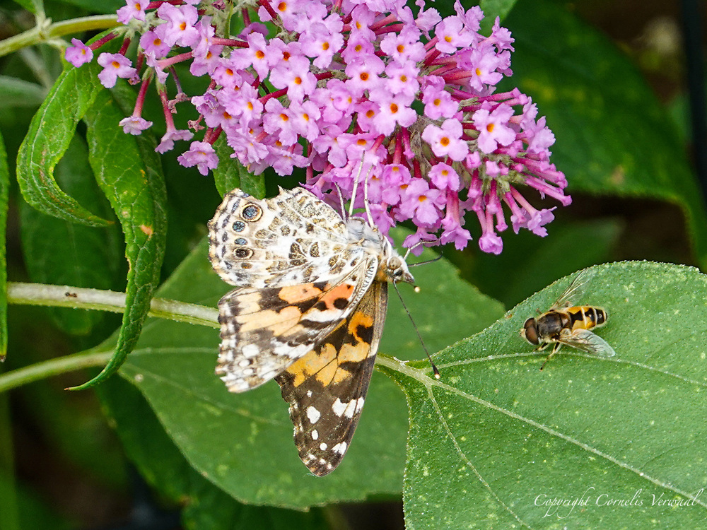 A European Drone Fly patiently waits his turn to sample the flowers as the Painted Lady butterfly gorges herself on Butterly bush nectar.