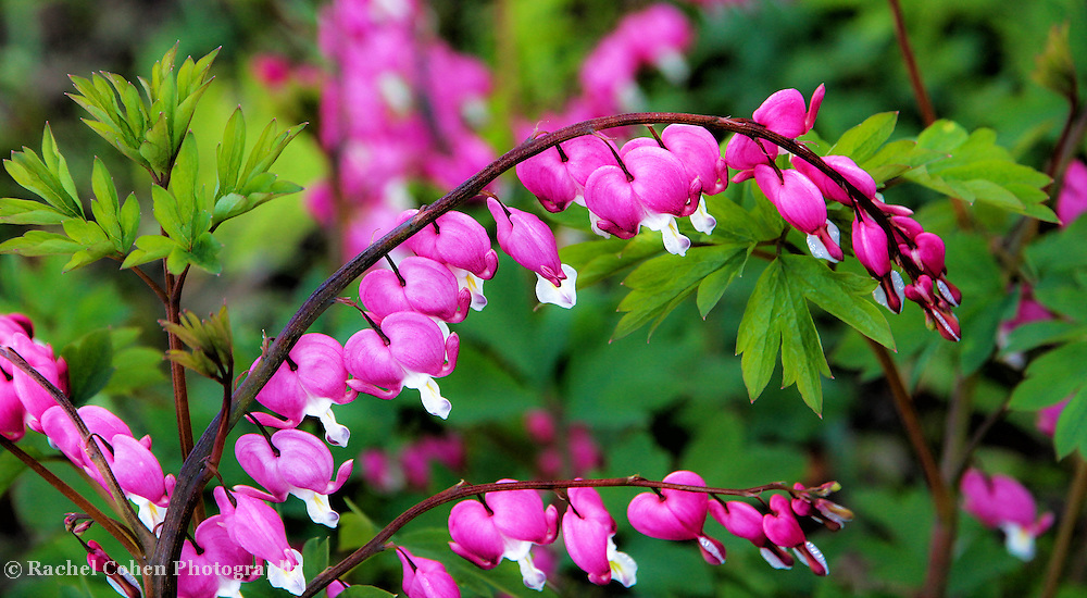 """""""Cascade of Love""""<br /> <br /> The beautiful Bleeding Heart. A wonderful cascade of pink and white hearts surrounded by lovely green foliage!!<br /> <br /> Flowers by Rachel Cohen"""