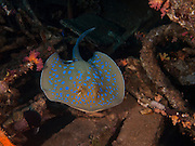 The bluespotted ribbontail ray (Taeniura lymma) is a species of stingray in the family Dasyatidae. Found from the intertidal zone to a depth of 30 m (100 ft), this species is common throughout the tropical Indian and western Pacific Oceans in nearshore, coral reef-associated habitats. This ray is capable of injuring humans with its venomous tail spines, though it prefers to flee if threatened. Because of its beauty and size, the bluespotted ribbontail ray is popular with private aquarists despite being poorly suited to captivity.  Photographed in the Red Sea Israel
