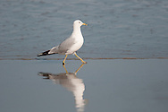 Ring Billed Gull walking on the surf at Scarborough Beach State Park in Maine