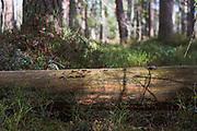Fungi Gloeoporus taxicola growing on the side of fallen scots pine tree, near Buiva, Vidzeme, Latvia Ⓒ Davis Ulands | davisulands.com
