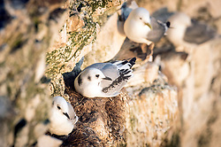 Kittiwake chicks at the RSPB nature reserve at Bempton Cliffs in Yorkshire, as over 250,000 seabirds flock to the chalk cliffs to find a mate and raise their young.