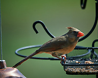 Northern Cardinal at the bird feeder. Image taken with a Nikon D5 camera and 600 mm f/4 VR lens (ISO 450, 600 mm, f/5.6, 1/1250 sec).