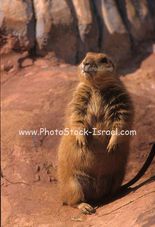 Prairie dogs (genus Cynomys) are herbivorous burrowing rodents native to the grasslands of North America. The five species are: black-tailed, white-tailed, Gunnison's, Utah, and Mexican prairie dogs. They are a type of ground squirrel, found in North America.