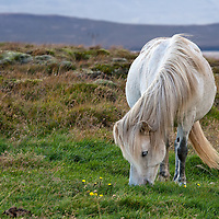 A beautiful white horse on the same location, still along Route 1, at the same time but photographed under better light conditions.