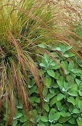 Stipa arundinacea with Salvia officinalis 'Berggarten'.