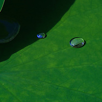 """Close-up of water droplets on a lotus leaf (Nelumbo nucifera), Kenilworth Park and Aquatic Gardens, Washington, DC.  Due to the superhydrophobic structure of the lotus leaf (including micro- and nanostructures plus hydrophobic waxes) the force of cohesion between the water molecules is greater than the adhesion forces to the leaf, known as the """"lotus effect"""".  Biomimicry has led to many commercial applications."""