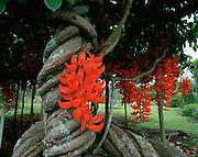 Red Jade Vine, Island of Hawaii, Hawaii, USA<br />