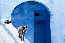 Cats on wall against blue doorway, Chefchaouen, Morocco`
