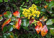 Oregon Grape (Mahonia aquifolium, Berberidaceae) blooms with yellow flower along Ingalls Creek Trail, in Wenatchee National Forest, between Leavenworth and Blewett Pass, in Washington, USA.