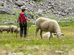 Woman hiker with sheep in the High Pyrenees descending Oulettes d'Ossoue towards Gavarnie, France