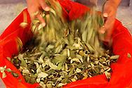 A bag of coca leaves job, work, agricolture